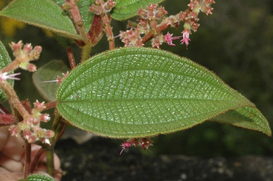 Pixirica ( foto fonte http://www.plantsystematics.org/imgs/fm18/r/Melastomataceae_Leandra_lacunosa_16972.html)